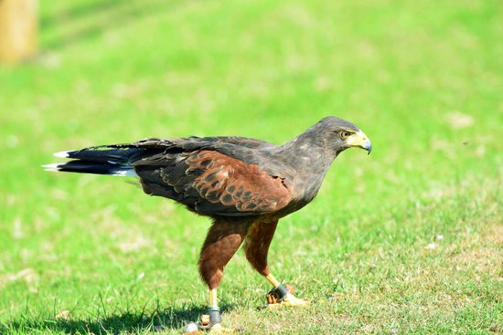 Falconry Experience Wales: red kite
