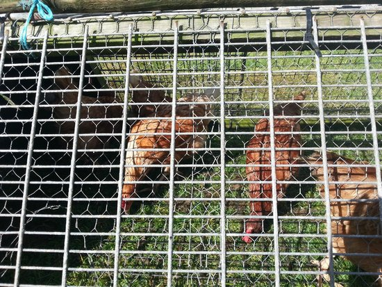 Tregolls Farm Holidays: Collecting eggs