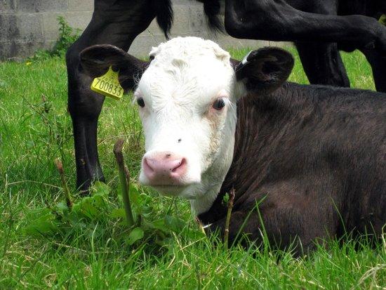 Acorn Farm: Cattle