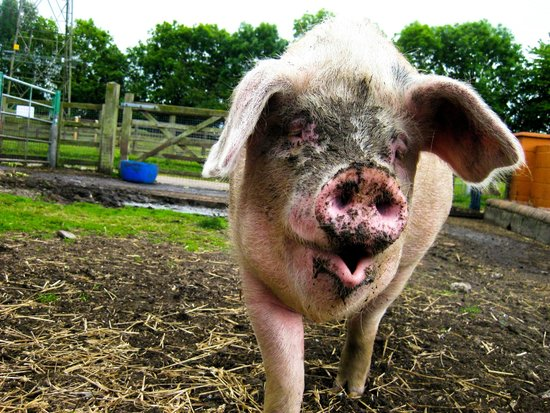 Acorn Farm: Pigs