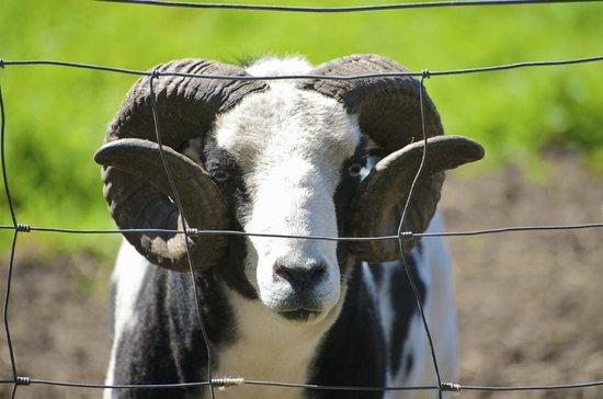 Acorn Farm: Sheep