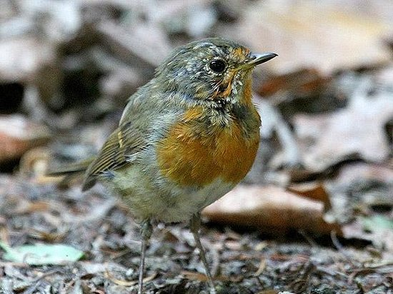 Jardin des Plantes : European Robin in the gardens