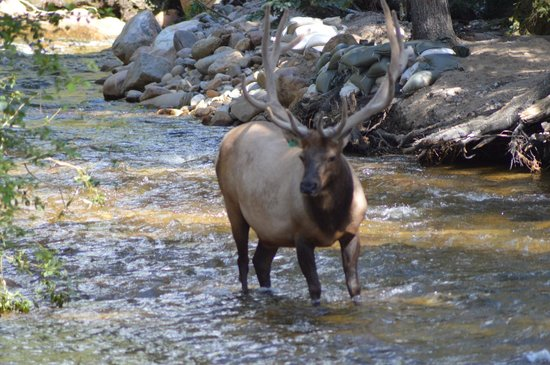 The Evergreens on Fall River: Elk that was in river behind cabin