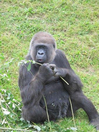 Jersey Zoo : Gorilla
