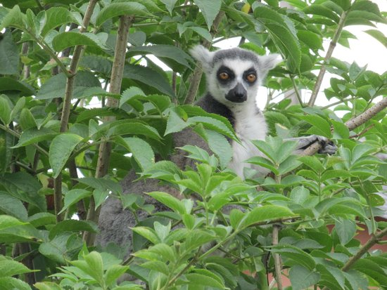 Jersey Zoo : Lemur