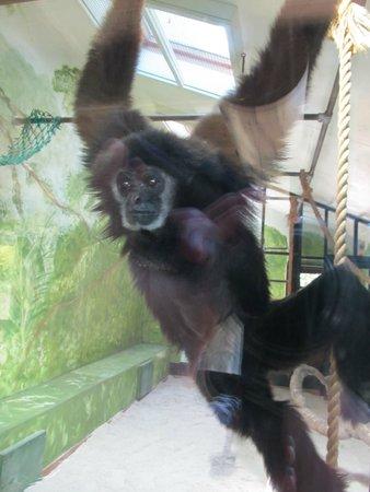 Jersey Zoo : Gibbon