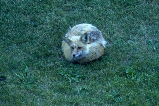 Soda Butte Lodge: This fox just curled up for a while on the lawn outside the back of the hotel.