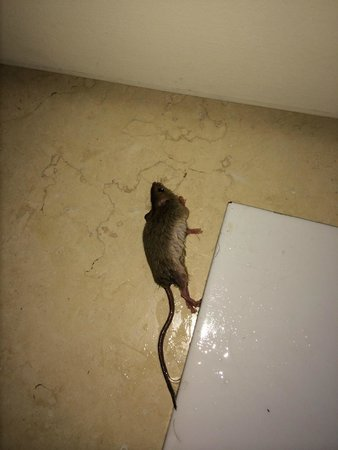 Sunrise Diamond Beach Resort: mouse