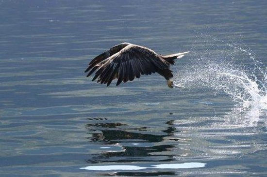 Mull Charters: A Sea Eagle