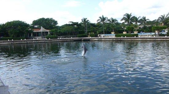 Dreams Puerto Aventuras Resort & Spa: Dolphins at the resort