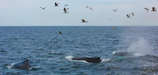 Hyannis Whale Watcher Cruises : Whales
