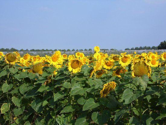 La Croix Joreau : We were surrounded by fields of sunflowers