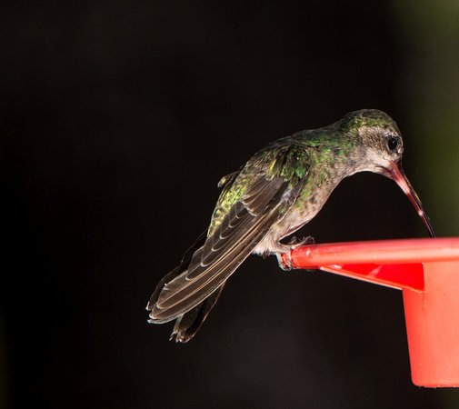 Santa Rita Lodge: Hummingbirds Galore