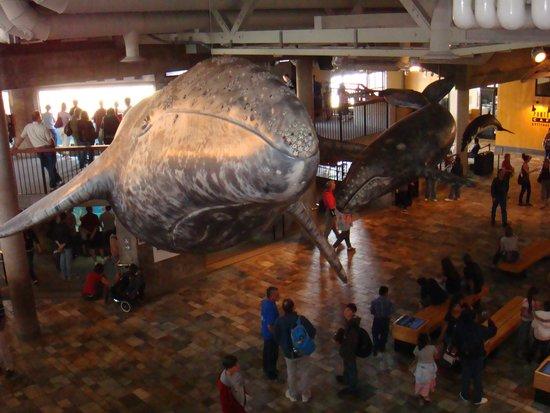 Monterey Bay Aquarium : Humpback whale
