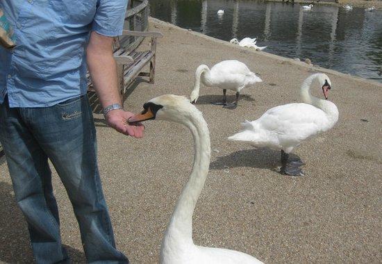 WWT Slimbridge Wetland Centre: Hand feeding a swan