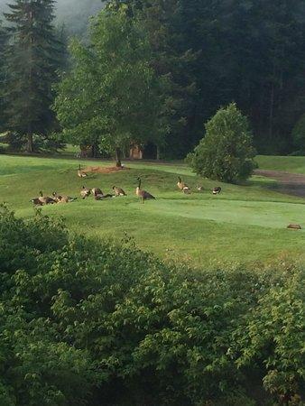 Chalets Royal Laurentien: vue de notre fenêtre de cuisine; des outardes sur le terrain de golf