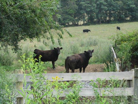 Alpine Hideaway: Cows