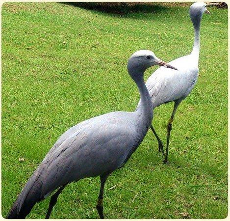 Austin Roberts Bird Sanctuary: Blue cranes