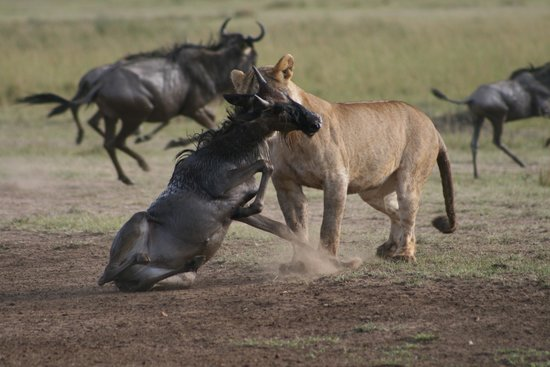 Mara Intrepids Club: Lioness Kill after the crossing