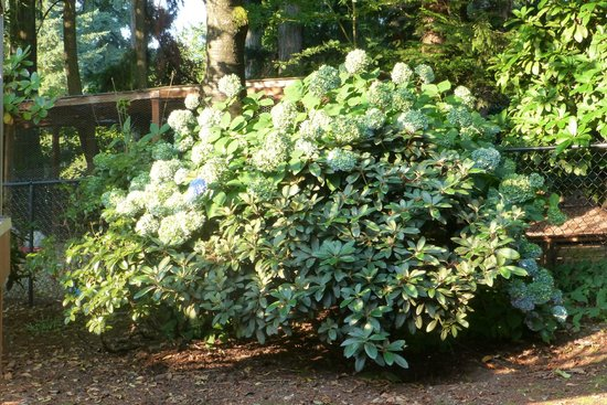 A Cascade View Bed and Breakfast: Hydrangea and Rhodedendron growing together... over five feet tall!