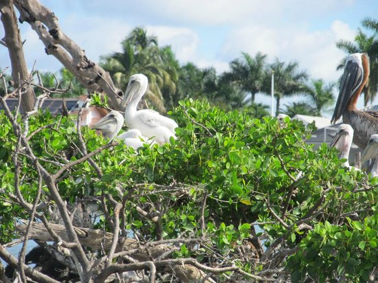 Marco Island Boat Tours: Baby pelicans in rookery