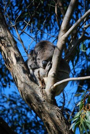 Great Ocean Road : Koala