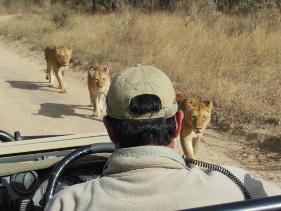 Kapama Buffalo Camp : Lions next to safari vehicle
