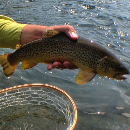 Arrick's Fly Shop and Fly Fishing Tours: Madison River Brown August 2014