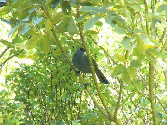 Tiritiri Matangi Island: Kokako with flax pollen head