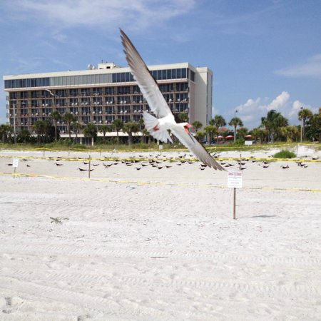 Holiday Inn Sarasota - Lido Beach: bird protecting the nesting birds on beach in front of hotel