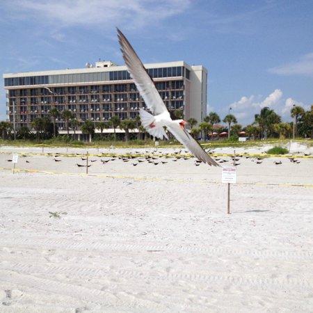 Holiday Inn Sarasota - Lido Beach : bird protecting the nesting birds on beach in front of hotel