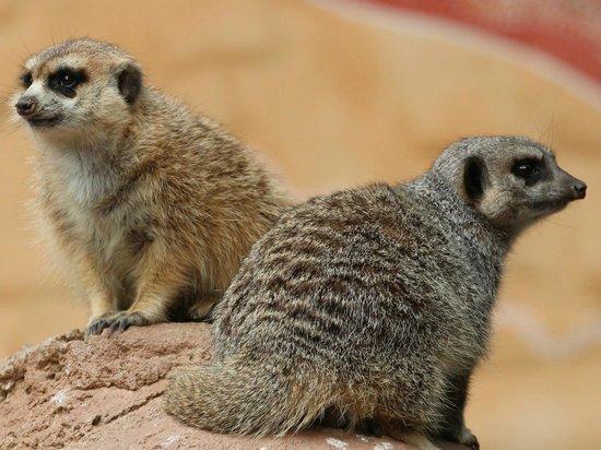 Cango Wildlife Ranch: Meerkats