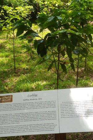 Mystic River Resort : Coffee plants