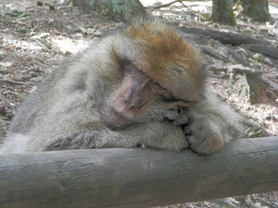 La Montagne des Singes : This one was sleeping right next to the trail while leaning on the wood rail.