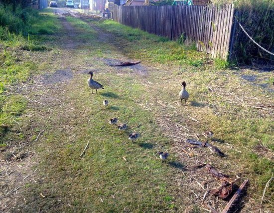 Atlantic Byron Bay: Walk to the beach via the back lane (with ducklings)