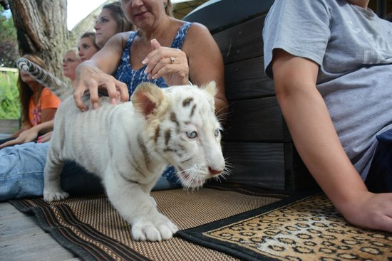 Myrtle Beach Safari The White Baby Tiger