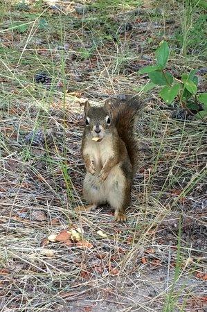 Tunnel Mountain Trailer Court Campground: Friendly red squirrel