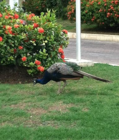 Sandals Royal Caribbean Resort and Private Island: A peacock in the garden