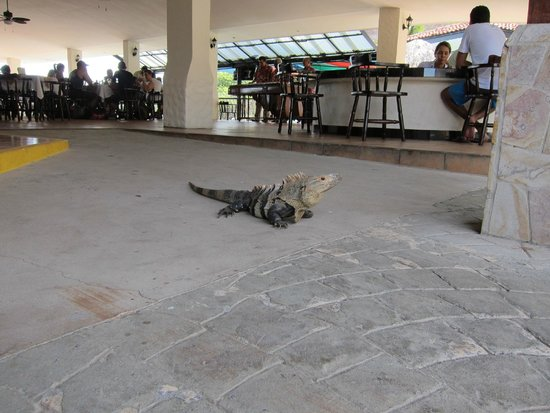 Condovac la Costa : Friendly iguanas hang out at pool
