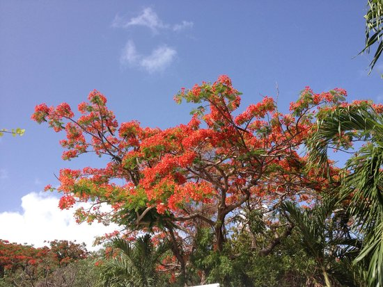 A beautiful flamboyant tree in full bloom at Northside Valley.