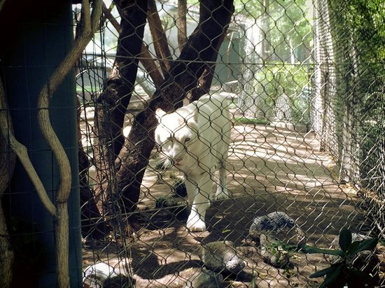 Bengal Tiger Picture Of Siegfried Roy 39 S Secret Garden And Dolphin Habitat Las Vegas