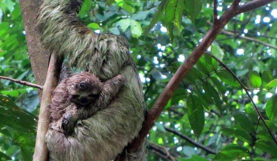 Baby and mama sloth at Manuel Antonio