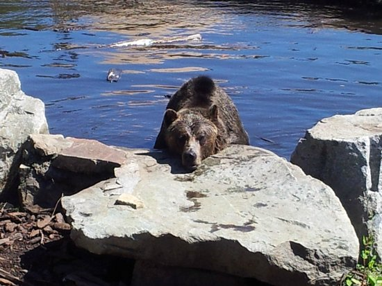 Bear Relaxing After Play Fight Picture Of Grouse Mountain North Vancouver Tripadvisor