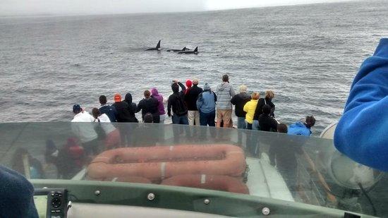Blue Ocean Whale Watch: Killer whales
