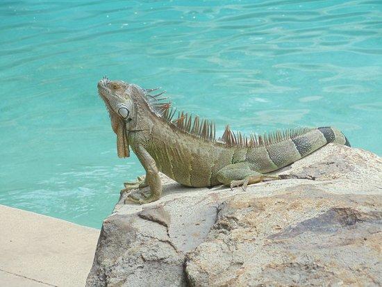 Hotel Capitan Suizo : Met this big guy chilling poolside!