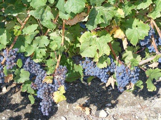 Logis Domaine de la Blairie: les vignes