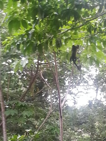 Parador Resort and Spa: Monkey from Balcony--room 220--right next to jungle