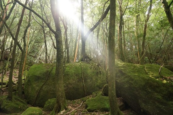 Shiratani Unsuikyo Valley: 白谷雲水峡の森の中で一瞬日差しが出ました。神秘的!