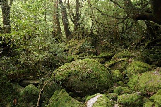 Shiratani Unsuikyo Valley: 白谷雲水峡のもののけ姫のモチーフとなった苔むす森です。人が少ない時に行くことをオススメします。