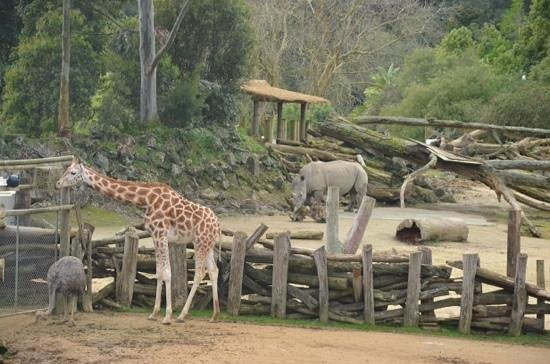 Auckland Zoo: Giraffes, ostriches, zebras and a rhino
